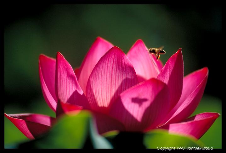 lotus-bee-85.3